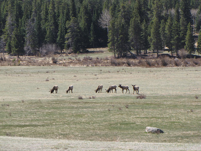 Elk grazing among the Bighorn at Sheep Lakes