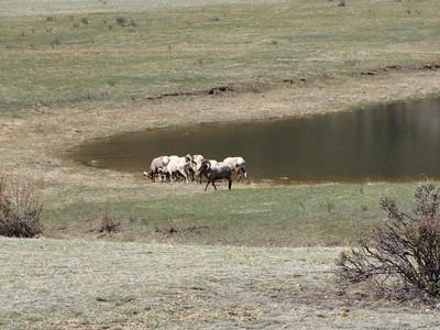 Bighorn Rams enjoying the minerals at Sheep Lakes