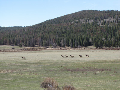 Elk grazing near the third mineral pond at Sheep Lakes