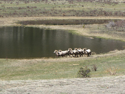 Bighorn Rams heading across to the third pond at Sheep Lakes