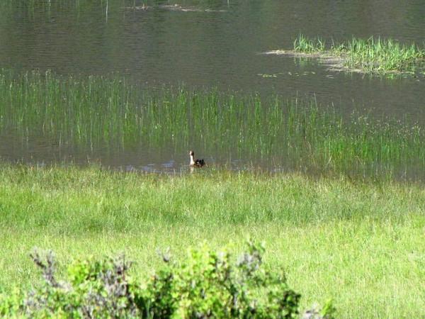 Mama Mallard Duck - she has 3 ducklings nearby