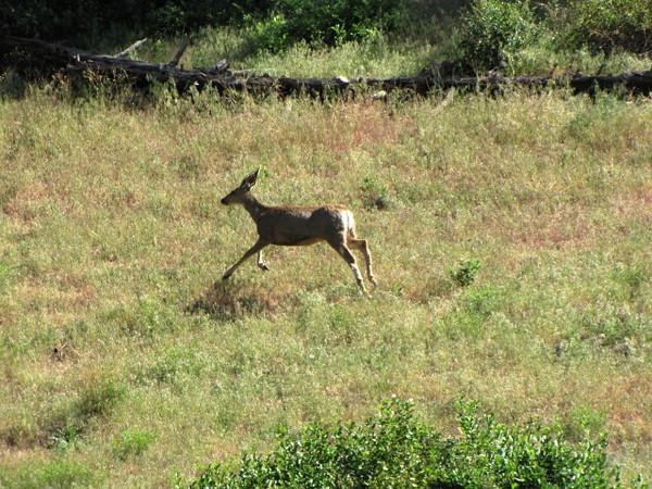 Mule Deer running across the  hillside