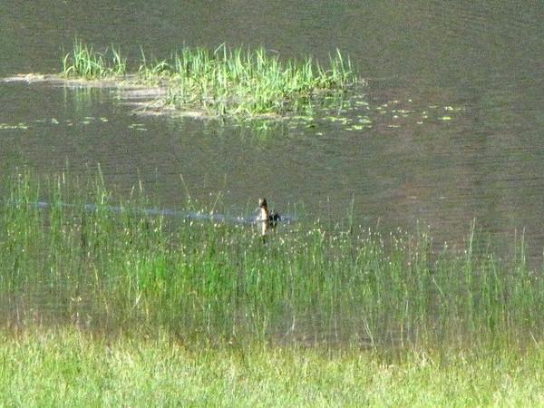 Mama Mallard Duck
