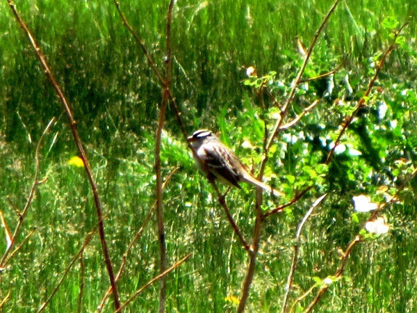White Crowned Sparrow sitting in a bush