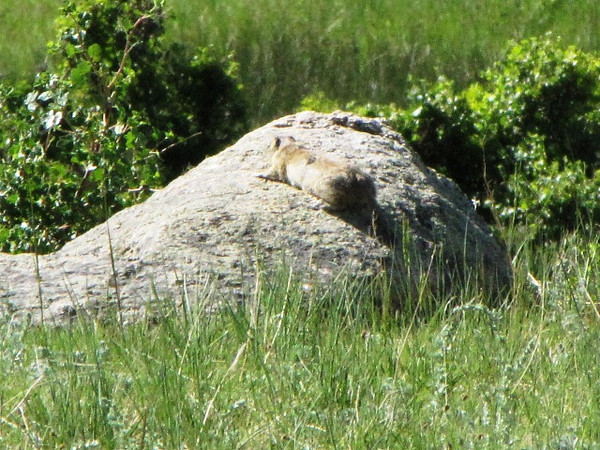 Wyoming Ground Squirrell - daddy chilling on a rock nearby his family