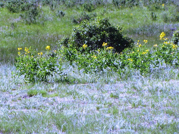 Beautiful wildflowers nearby the Wyoming Ground Squirrel den