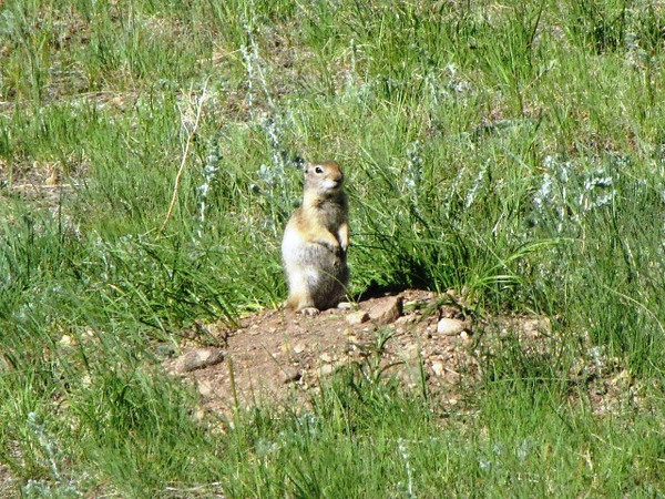 Mama Wyoming Ground Squirrell standing on top of her den - looking out for predators - this is right before she let her 3 pups out to play