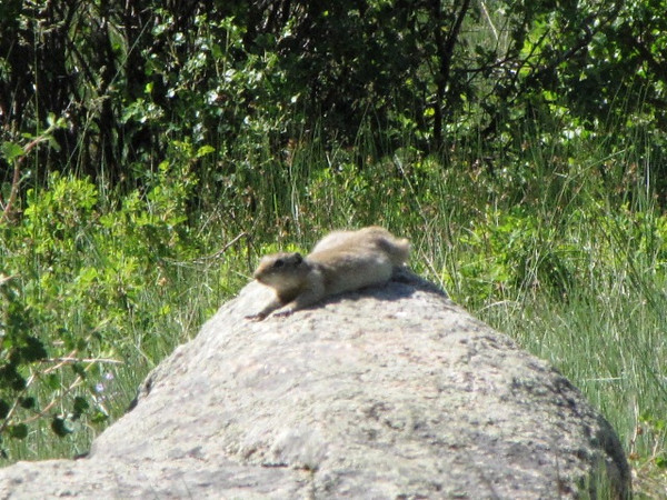 Daddy Wyoming Ground Squirrell chilling on a nearby rock