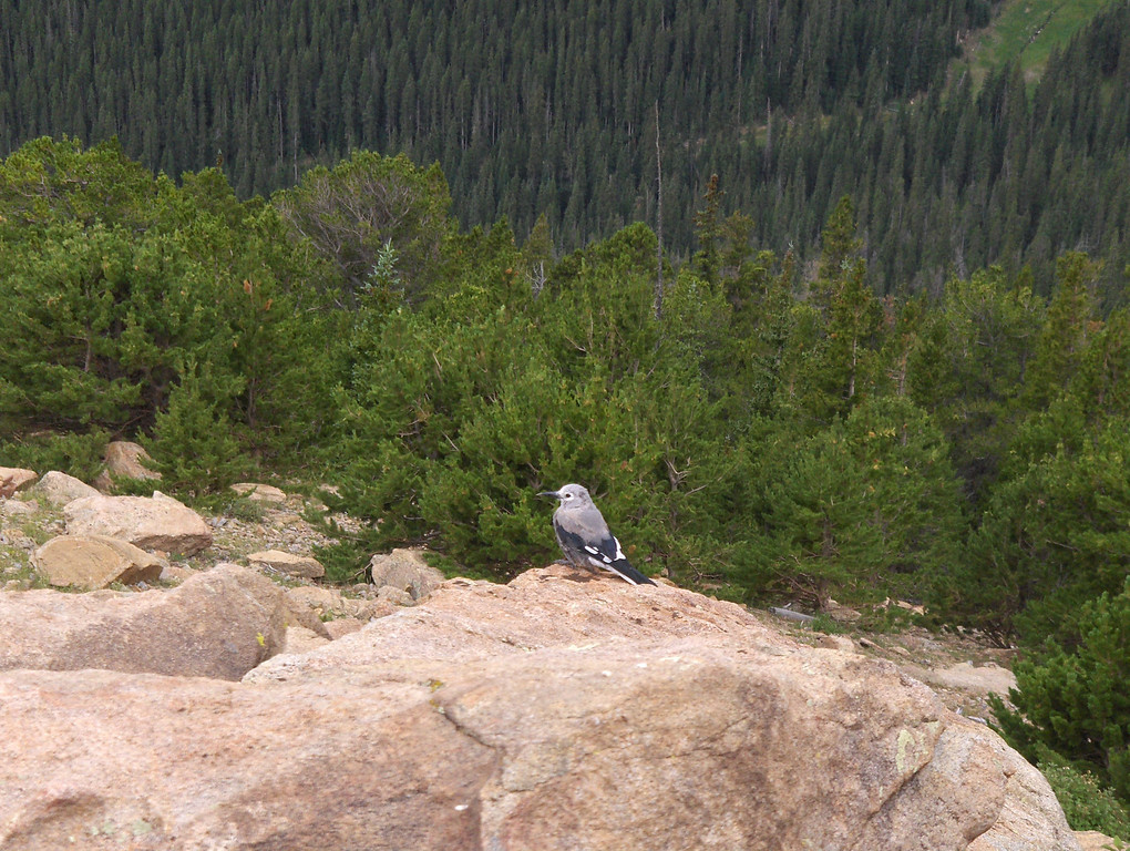 July 2008 - GMA's first trip to RMNP - views from Trail Ridge Drive - we have a little friend and he's adorable