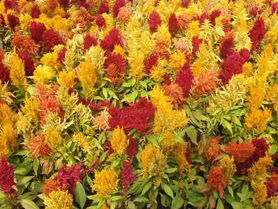 10-04-2008 - Estes Park; Elk Fest; beautiful flowers downtown