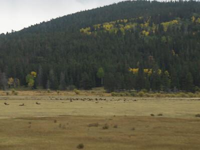 10-04-2008 - RMNP; closer view of Elk Herd at Sheeps Lake