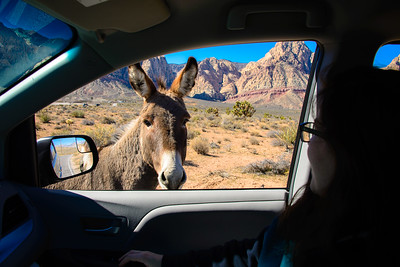 Wild donkey near Bonnie Springs, along Highway 159 (Red Rock Canyon Road), Nevada, February 2016.