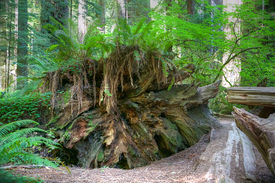 RN&SP-180627-0007 Root base of the fallen Redwood tree is a lot wider than I am tall