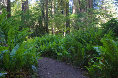 RN&SP-180626-0004 Ferns line the path in Lady Bird Johnson Grove
