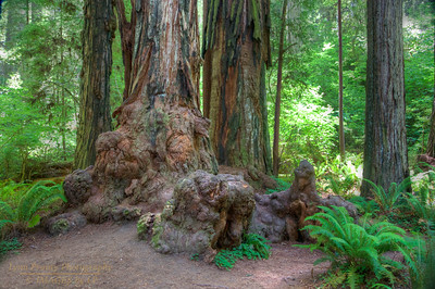 RN&SP-180627-0003 Burrell surrounds the base of this old Redwood