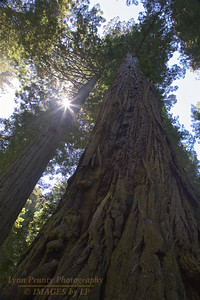 RN&SP-180626-0005 Redwood tree with many scars