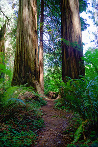RN&SP-180627-0009 A fern lined trail to two Redwood trees