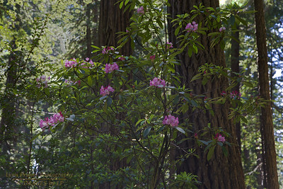 RN&SP-180626-0009 Rhododendron under the Redwood trees