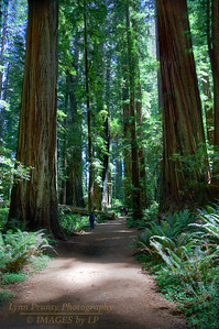 RN&SP-180627-0002 Fern lined trails wonders through the Redwoods