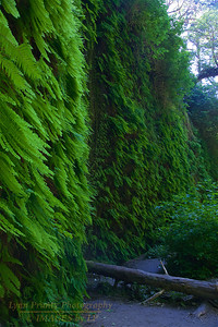 RN&SP-180626-0013 Ferns covers the walls of Fern Canyon