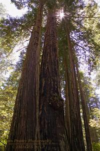 RN&SP-180626-0010 Redwood tree bases growing together