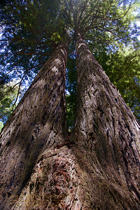 RN&SP-180626-0002 Two Redwood tree trunks grew together over the years at Lady Bird Johnson Grove