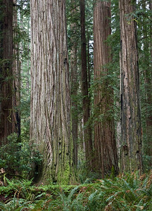 Redwood State and National Park