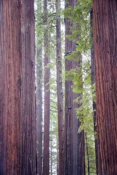Humboldt Redwoods-2