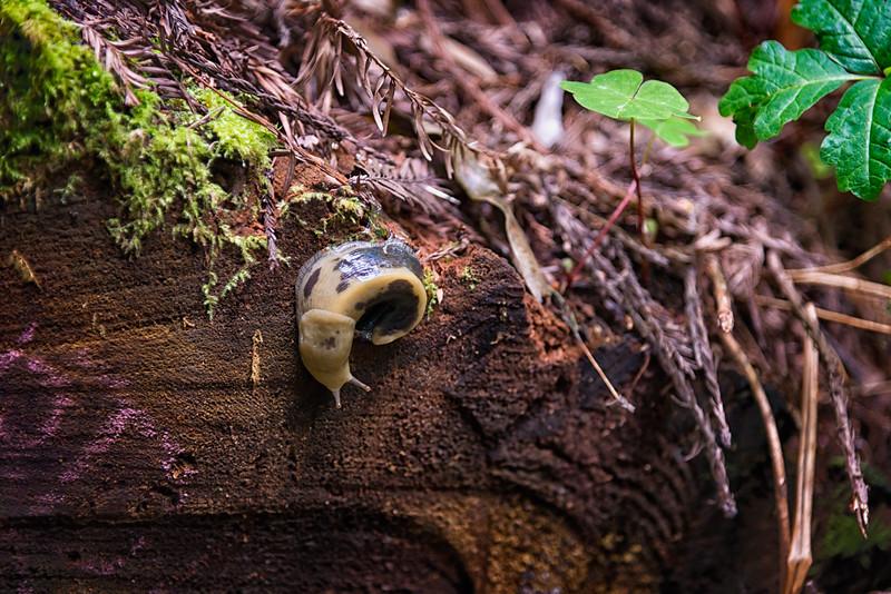 Banana Slug - Humboldt Redwoods