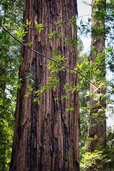 Humboldt Redwoods-11