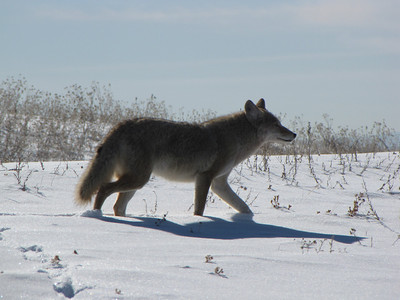 a coyote, close to bald eagle nests, looking for lunch