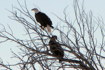daddy and baby bald eagle