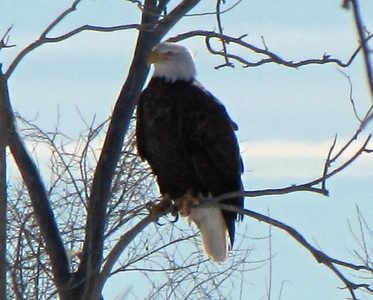 daddy bald eagle - how gorgeous!