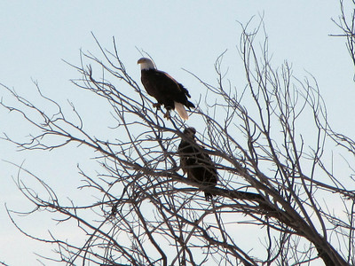 daddy and juvenile bald eagle - daddy trying to convince young one to fly