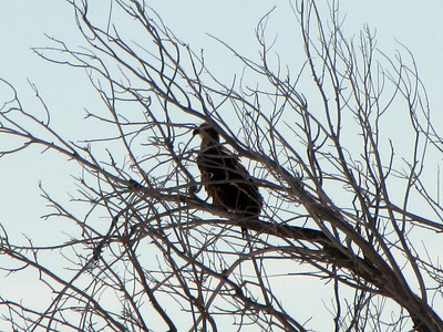 baby bald eagle - watching daddy fly off to tree - not enough courage to fly yet