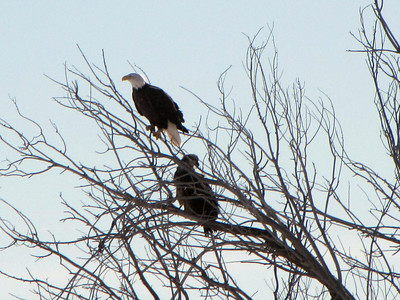 daddy and baby bald eagle - daddy is listening to mama in far away tree - getting ready to fly off