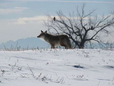 coyote on the prowl for lunch - bald eagles in tree behind him
