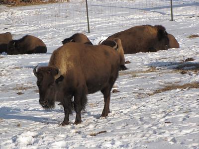 Bison - Buffalo near Highlands Ranch