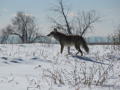 coyote spotted something - with bald eagles nearby