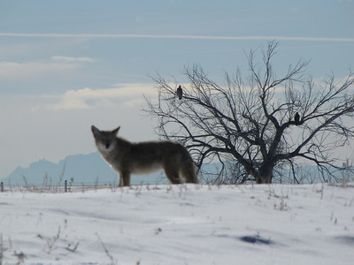coyote looking at me - bald eagles in tree behind him