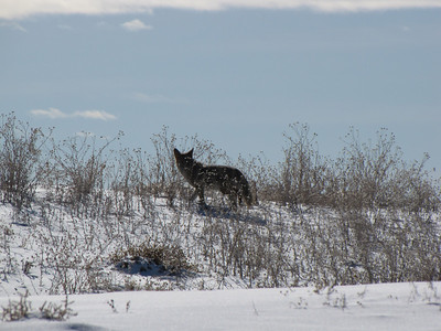 coyote on the prowl - spotted a prairie dog