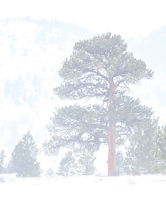 Ponderosa Pine in the Snow Storm