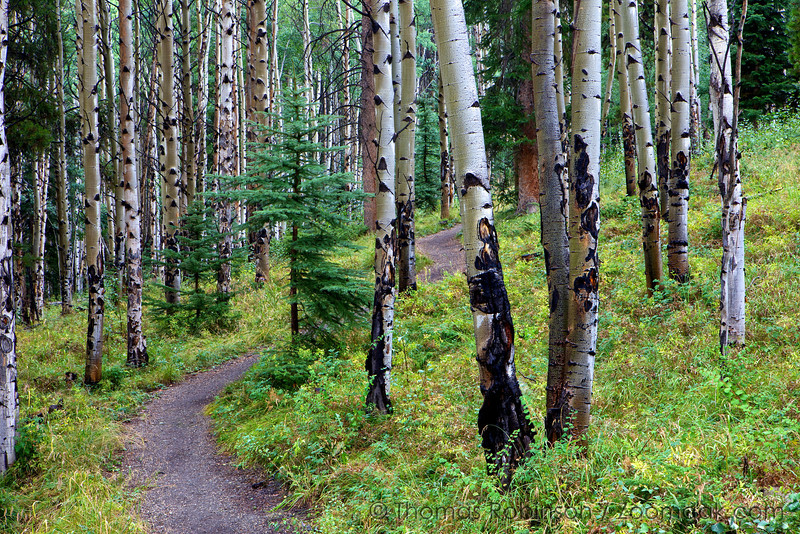 A slender trail leads through the aspen grove in hills of Colorado.