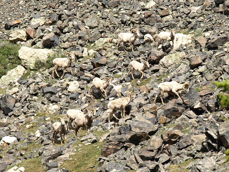 Big Horn Sheep Traversing the Mountain (I)