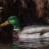 Mallard Duck (Male)