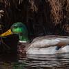 Mallard Duck (Male)