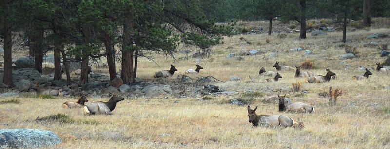 Elk resting in Moraine Park area