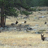 Elk resting in Moraine Park area