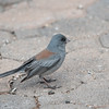 Dark-eyed Junco (Gray-headed Race)