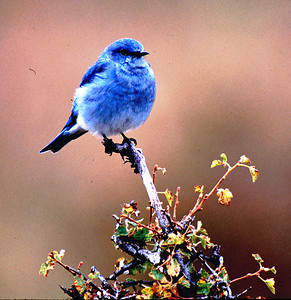 This is a Western Bluebird.  This was a cold morning in September and he fluffed up to add some insulation to keep warm.  He stayed busy flying and catching insects.